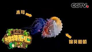 [正大综艺·动物来啦]锦葵船蛸是通过什么方式固定水母的| CCTV