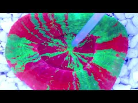 Ultra Bleeding Apple Scolymia Eating NYOS® Goldpods (Time Lapse)