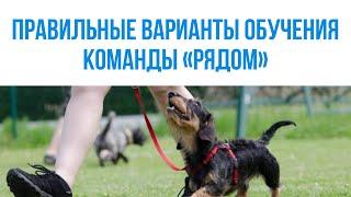 Правильные варианты обучения комады рядом. Развитие собак