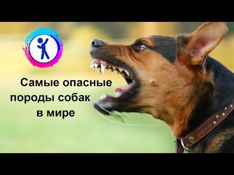 10 самых опасных пород собак в мире