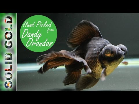 10 New Breeder Fish From Dandy Orandas