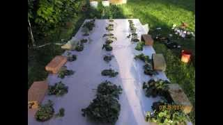 Lets Grow Hydroponic Strawberries 2015 (1)