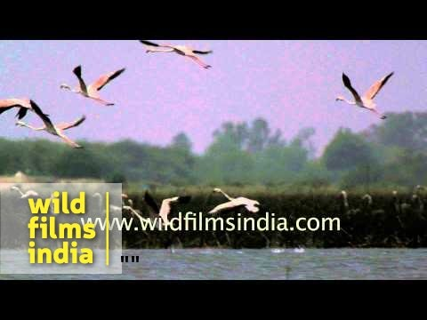 Greater Flamingos take off en masse from Indian wetland