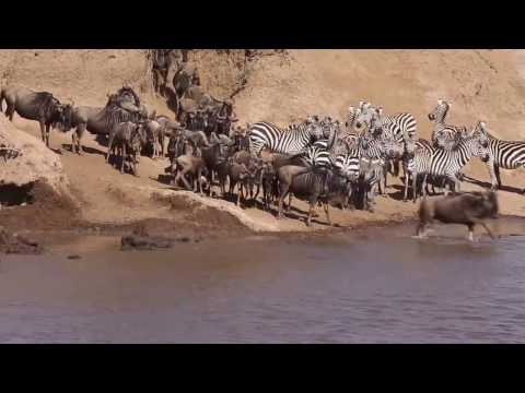 Masai Mara River Crossing - The Great Migration