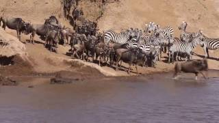 Masai Mara Safari River Crossing - The Great Migration, Kenya