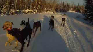 Free Running And Training Sled Dog Pups | Mushing