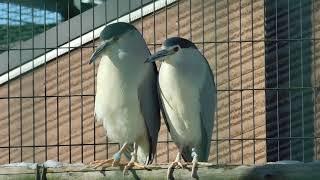 2019_01ゴイサギが静かに鳴いていたらシュバシコウのクラッタリングが始まった(円山動物園) Black-crowned night heron & White Stork Clattering