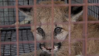 Rescuing an Orphaned Mountain Lion Cub