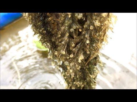 Minnesota Koi Pond ~ Koi Fish Spawning ~ Laying Eggs ~ Hatching Fry & Feeding ~ Part 1