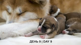 ЩЕНКИ #АКИТА ОНЛАЙН | #AKITA PUPPIES ONLINE | PET 犬 | DAY 9