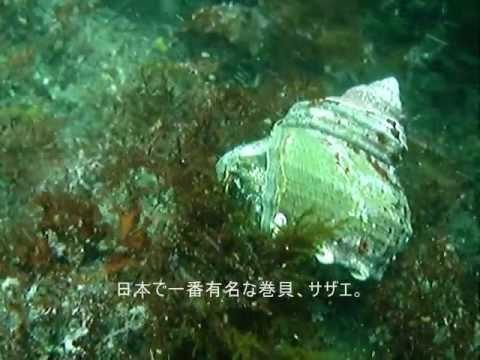 シュパッとサザエの放卵 瞬間映像 broadcast spawning Horned turban shell