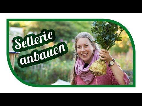 Sellerie Erfolgreich Anbauen 👩🏾🌾 Knollensellerie Monarch Von Der Aussaat Bis Zu Ernte