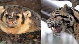 Барсук против Дымчатого Леопарда! КТО СИЛЬНЕЕ?