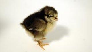 Black Australorp Chicks 2 Weeks old
