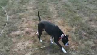Boxer Pitbull Mixed