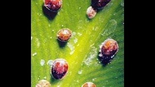 Щитовка -вредители орхидей .Борьба с вредителем народным средством