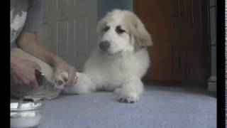 Let's Raise A Puppy! Lesson 5: Traumafree nail clipping