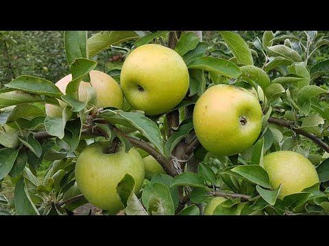 Яблоня ренет симиренка / Apple Renet simirenka / Яблоко ренет симиренко