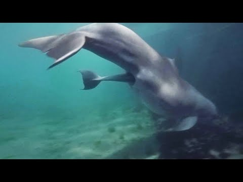 Baby Dolphin Birth In Bermuda - Dolphin Quest Bermuda