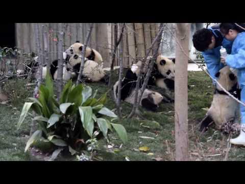 Milk time for panda cubs!