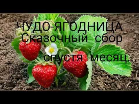 ЧУДО-ЯГОДНИЦА сказочный сбор спустя месяц. Выращивание клубники на подоконнике.