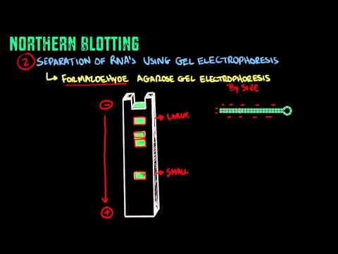 Northern Blotting - Biology Tutorial