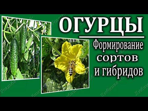 Формирование огурцов. Формирование пчелоопыляемых и партенокарпических огурцов