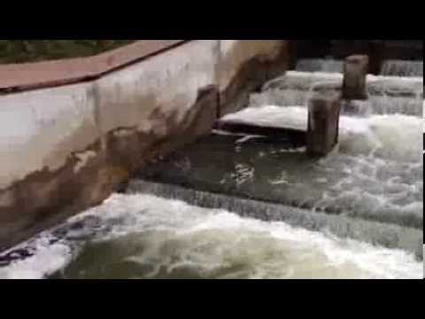 Salmon Jumping Up The Fish Ladder In Grand Rapids, Michigan