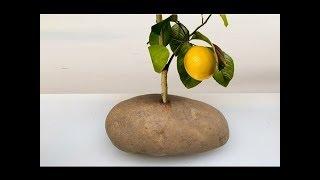 Tarçın ve Bal ile Limon Dalını Patateste Köklendirme ????