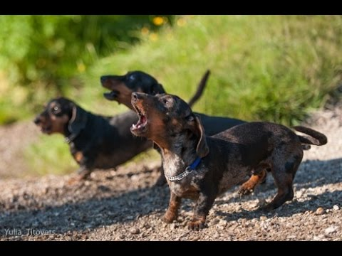 DACHSHUND BARKING - DACHSHUND HOWLING AND BARKING COMPILATION 2016