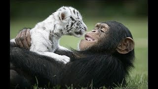 Cute Monkeys Part #77 - Free and happy time Funny Baby Chimp Playing with Dog and Tiger