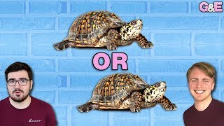 Is It Called A Turtis Or A Tortle? - The Gus & Eddy Podcast