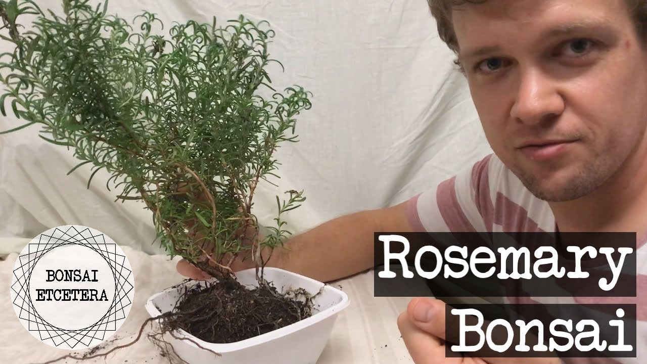 Rosemary Bonsai First Potting And Style Youtube