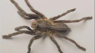 Une nouvelle mygale (araignée)