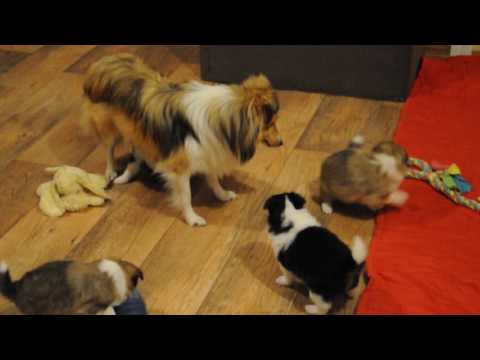 Sheltie puppies 5 week