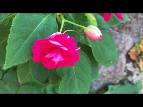 Комнатные цветы в открытом грунте ч 2