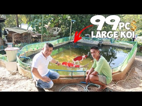 LARGE OUTDOOR POND Full Of GIANT KOI FISH