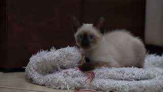 Cute Siamese Kitten | Relax With Cats | 4K