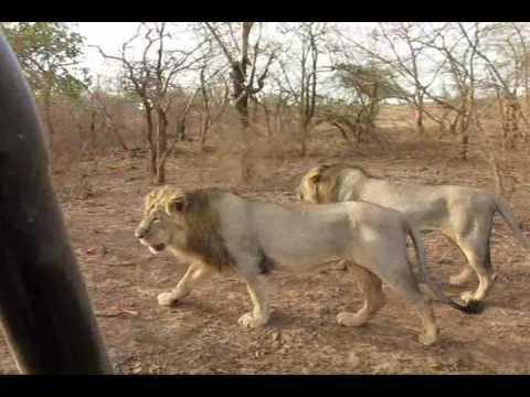 Asiatic Lions of Sasan Gir, India