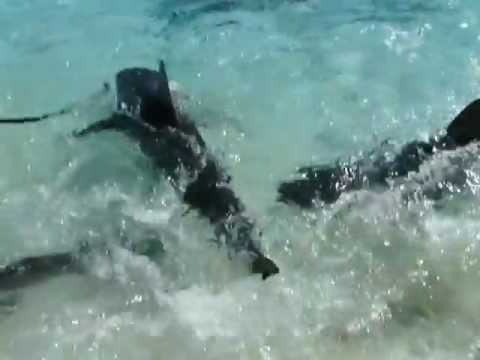 BAHAMAS, ISLAS EXUMAS, WALKING THE SHARK¡¡¡ (SHIP CHANNEL CAY)