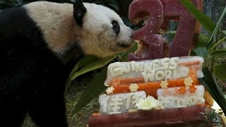 37 year old jia jia to become oldest giant panda in the world