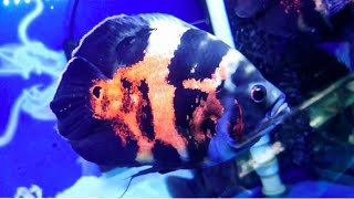 Top 10 Types of the Most Popular Oscar Fish | How to Identify Sex of Oscar Fish
