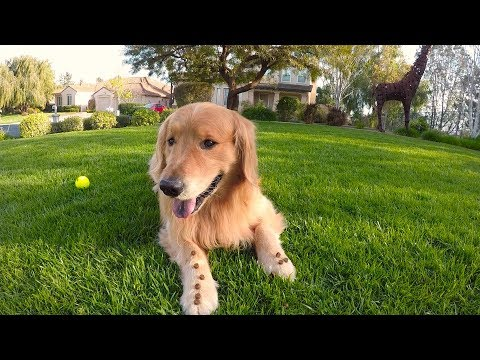 Watch Oshie Show Off His Tricks | Golden Retriever VLOG