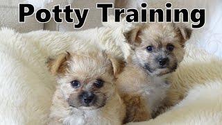 How To Potty Train A Yo Chon Puppy - Yochon House Training Tips - Housebreaking Yo-chon Puppies