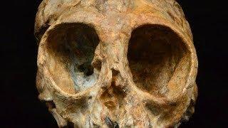 13 million year old skull may fill evolution gap