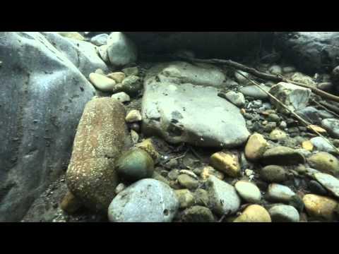 Stonefly Nymph Underwater