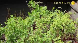 Как вырастить абрикос в Сибири