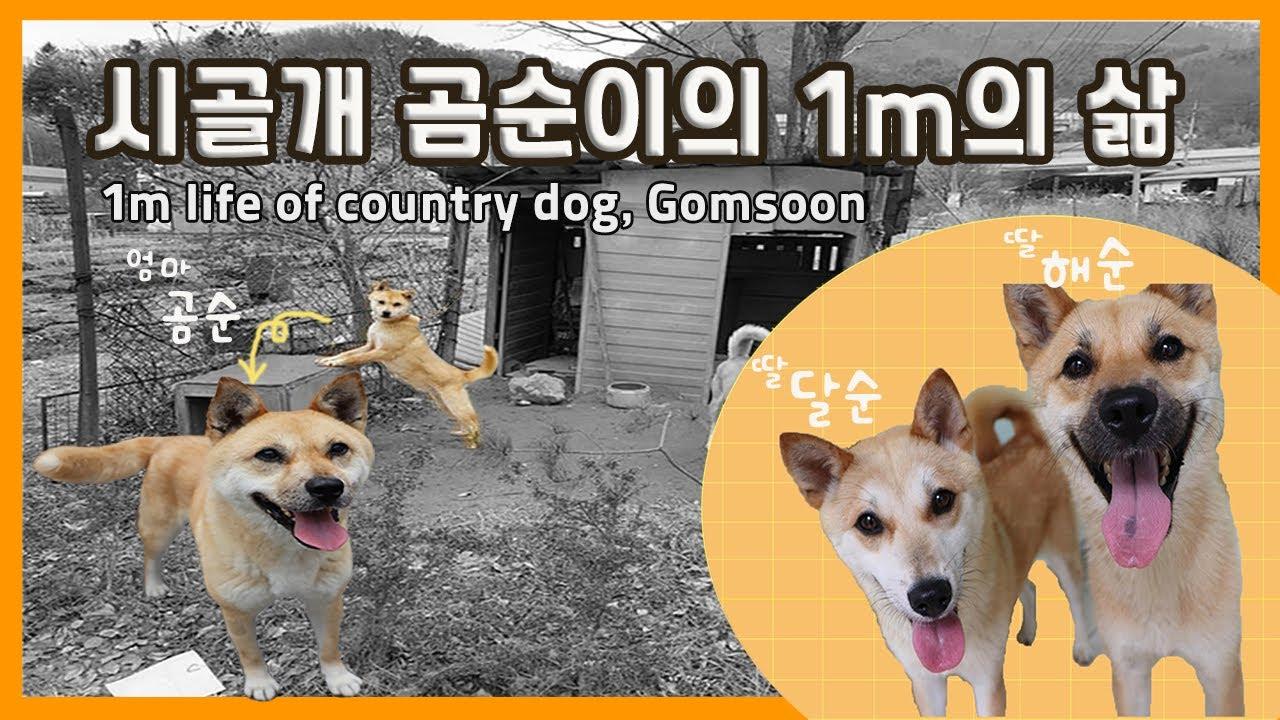 시골개 곰순이의 1m의 삶 / 1m life of country dog, Gomsoon