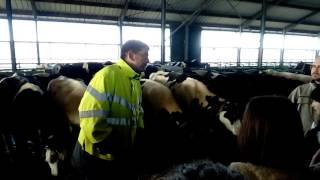 Ferme des 1 000 vaches: nourrissage