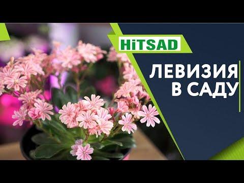 Левизия в Саду 🌺 Посадка и Уход 🌺 Советы От Хитсад ТВ
